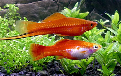 Why are my Swordtails Not Breeding?