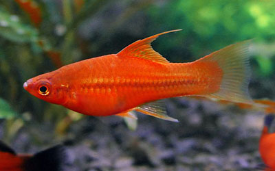 Can Swordtail Fish Survive Without a Filter?