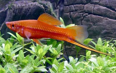 swordtail-fish