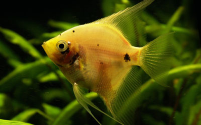 angelfish-care