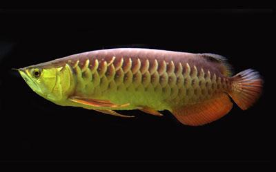 asian-arowana-fish