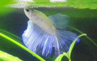 Why do Betta Fish Make Bubbles at Water Surface?