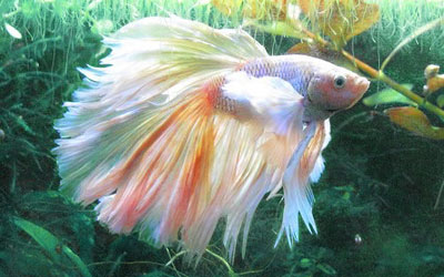 Betta Fish Feeding Guide: Food Type, Schedule, Quantity & Frequency