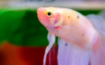 Betta Fish Lifespan in Aquarium – How Long do Bettas Live For?