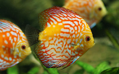 Discus Fish – Care, Tank Conditions, Feeding, Breeding