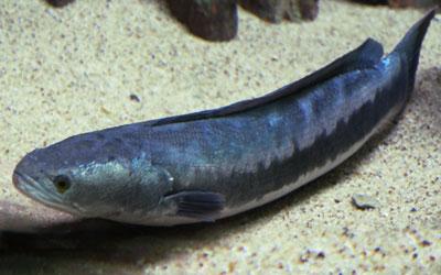giant-snakehead