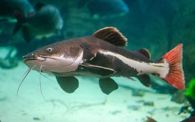 red-tail-catfish