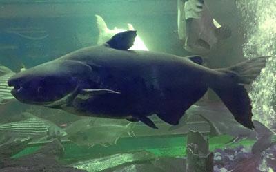 siamese-shark