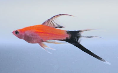 Swordtail Fish Feeding Schedule