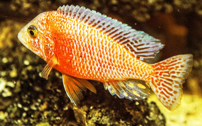 African Cichlids Aggressive Behavior – How to Deal With It?
