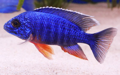 African Cichlids: Care, Feeding, Conditions, Breeding, Tank Mates