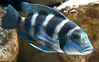 Do African Cichlids Eat Their Fry?