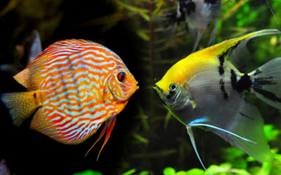 Angelfish and Discus Fish Can Live Together?