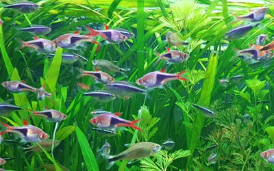 15 Best & Popular Schooling Aquarium Fish
