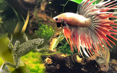 Betta Fish and African Dwarf Frog Can Live Together?