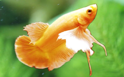 Why do Betta Fish Jump out of Aquarium?