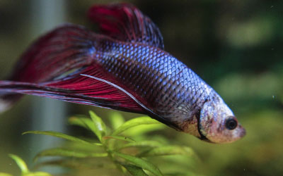 Do Betta Fish Sleep? How to Tell if Betta is Sleeping?