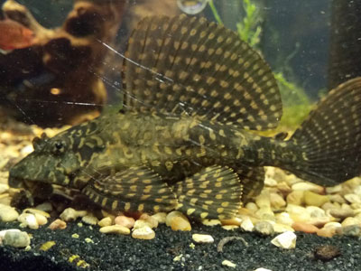 big-pleco-fish