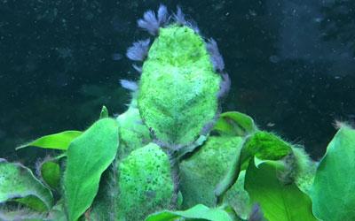 black-beard-algae