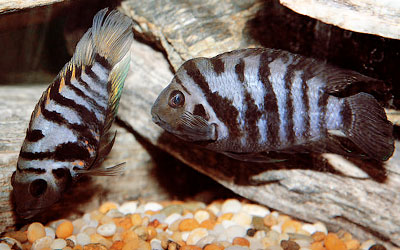 Convict Cichlids Breeding: Water Parameters, Tank Setup, Spawning