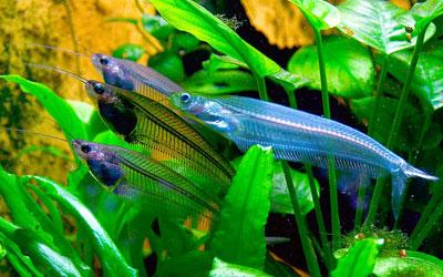 ghost-catfish