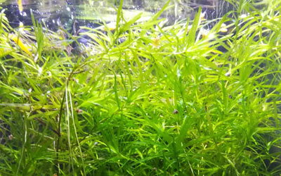guppy-grass-najas-guadalupensis