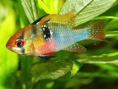 ram-cichlid-fish
