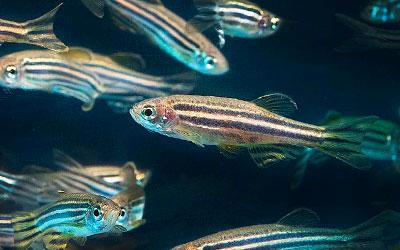 zebra-danios-zebrafish
