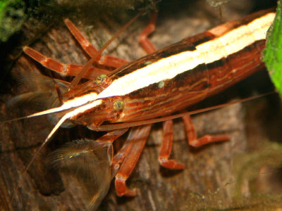 bamboo-wood-shrimp
