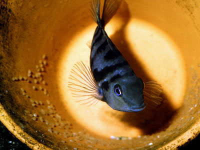 Breeding Convict Cichlids