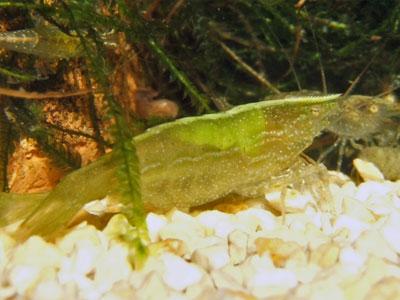 caridina-babaulti-shrimp