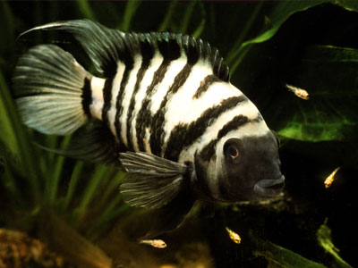 Convict Cichlid Parental Roles