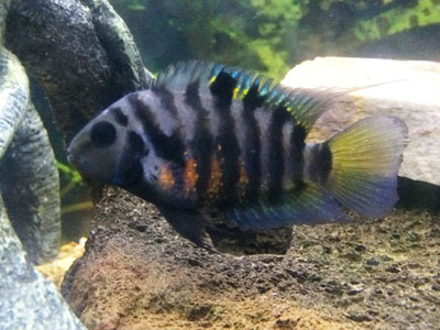 Convict Cichlid Tank Conditions