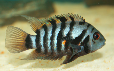 Convict Cichlid – Care, Feeding, Breeding, Tank Mates