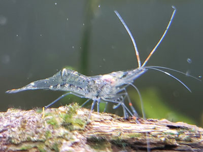 ghost-shrimp