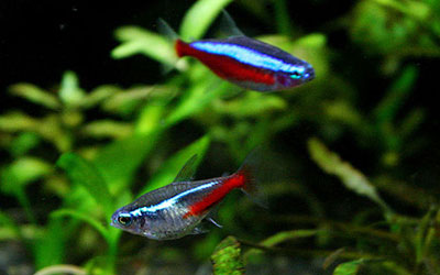 Neon Tetra vs Cardinal Tetra: What is the Difference?