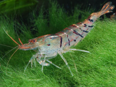 tiger-shrimp