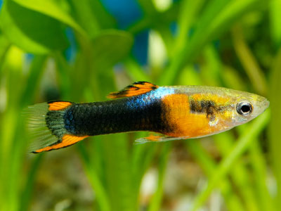 Endler Guppy Fish