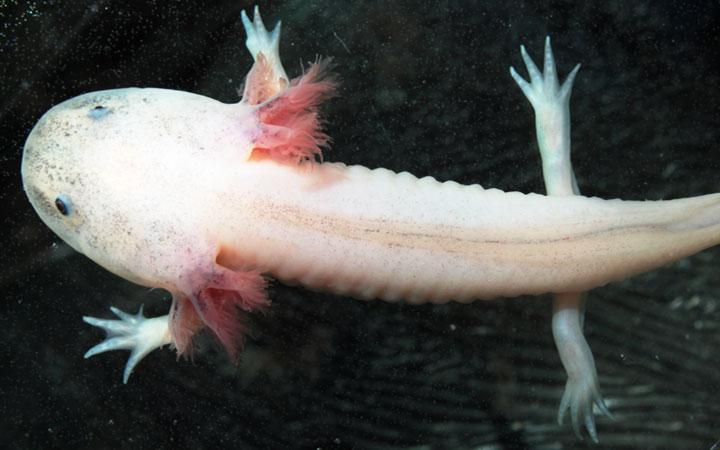 Axolotls Have Outside Gills