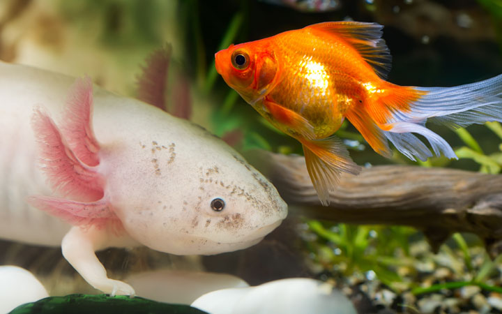 Axolotl and Goldfish – Can you Keep Them Together?