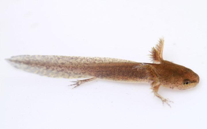Axolotl Larval Development