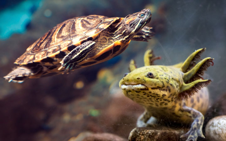 Axolotl and Turtle – Can You Keep Them Together?