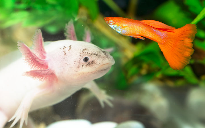 Axolotls and Guppies – Can You Keep Them Together?