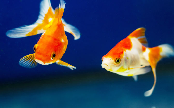15 Best Goldfish Tank Mates