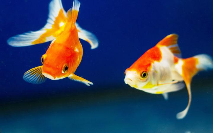15 Best Goldfish Tank Mates