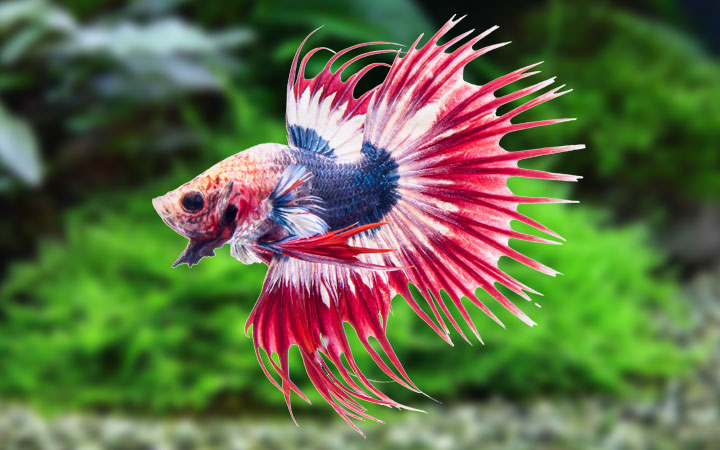 Betta Fish – Care, Feeding, Requirements, Breeding & Tank Mates
