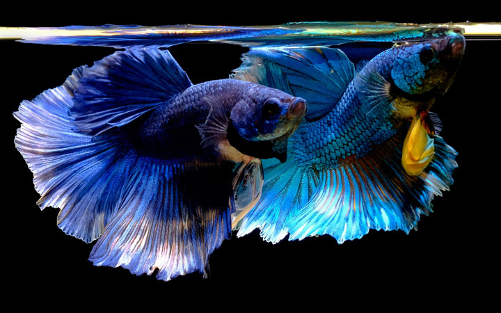 Betta Fish Feeding Schedule