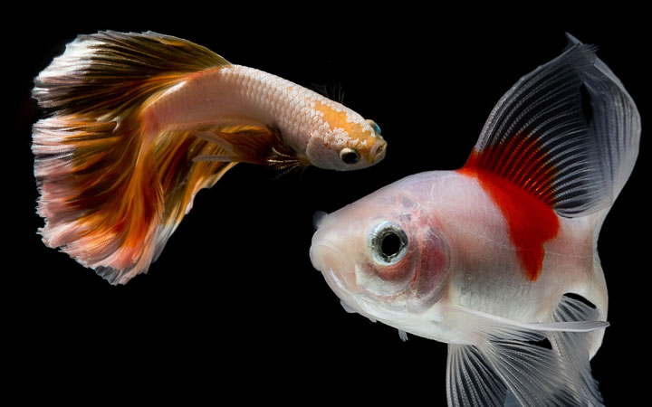 Betta Fish and Goldfish