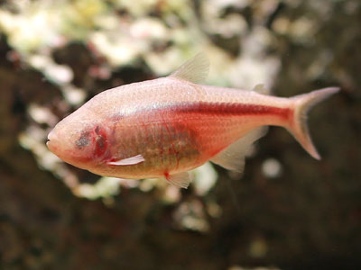 Blind Cave Mexican Tetra