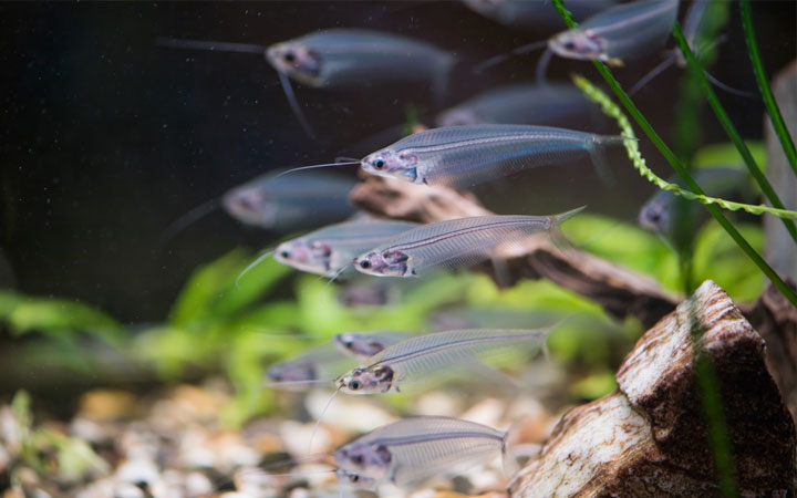 Ghost Catfish – Care, Requirements, Feeding, Tank Mates, Breeding & More